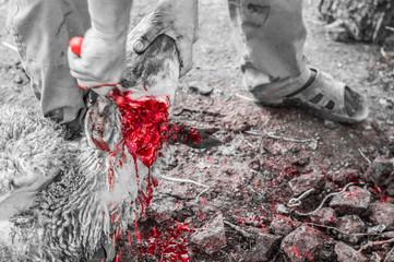 Muslim butcher man cutting a sheep for Eid Al-Adha (Sacrifice Feast).