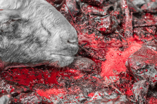 Close-up of dead sheep head lying on blood sacrificed for Eid Al-Adha (Sacrifice Feast).