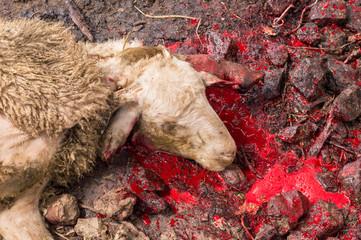 Dead sheep head with blood sacrificed for Eid Al-Adha (Sacrifice Feast).