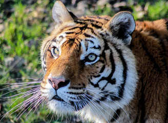 Tigre gros plan
