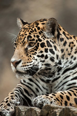 Fototapete - Jaguar (Panthera onca).