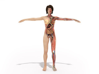 A woman body for books on anatomy 3d render image on white