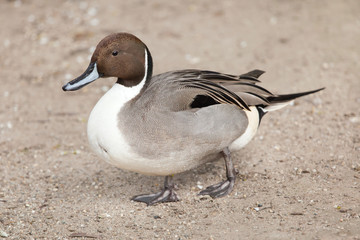 Northern pintail (Anas acuta).