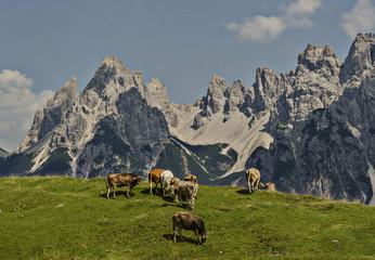 Vedorcia and Spalti di Toro, Dolomites, Belluno, Veneto, Italy. Cows at Vedorcia