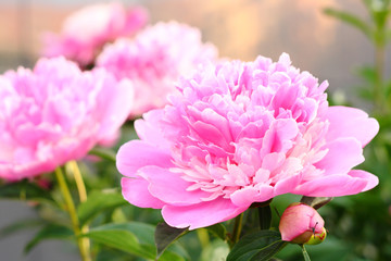 Several peony flowers are pink