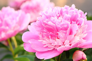 Delicate peonies close-up