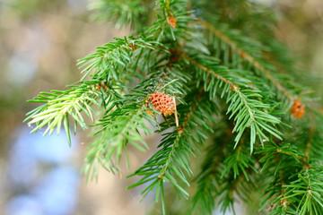 A branch of cedar with cones