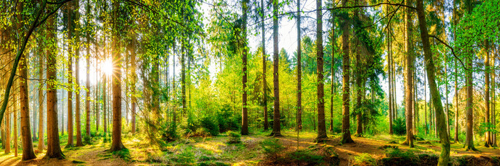 Wall Mural - Wonderful forest panorama with bright sun