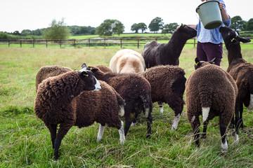 Zwartble sheep feeding