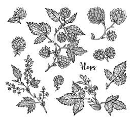 Beer hops branch with leaves and hop cones. Vintage engraved hops for labels, packaging, poster with production process brewery beer. Hand drawn design element. All element isolated.