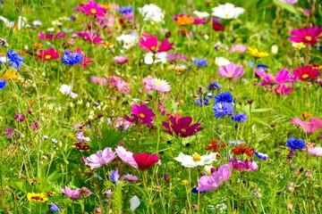Fototapete - Grußkarte - bunte Blumenwiese - Sommerblumen