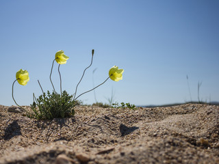 Yellow poppy flower in the sand