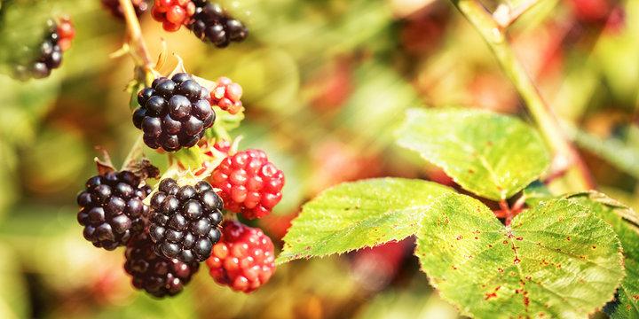 Blackberries, Late Summer Background