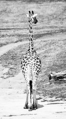 Young giraffe in african savanna. View from behind. Black and white image.