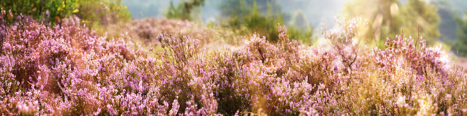Common Heather, Calluna vulgaris, Lüneburg Heath, Germany
