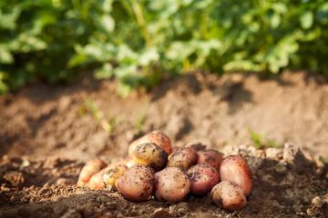Picked potato on garden ground