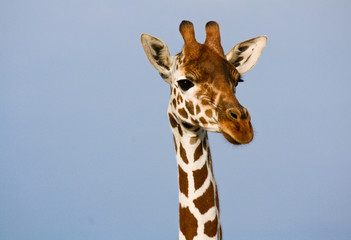 Foto op Plexiglas Giraffe Head and neck of a reticulated giraffe