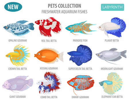 Freshwater aquarium fishes breeds icon set flat style isolated on white. Labyrinth fishes: betta, gourami. Create own infographic about pets