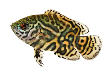 Tiger Oscar Cichlid Astronotus ocellatus aquarium fish