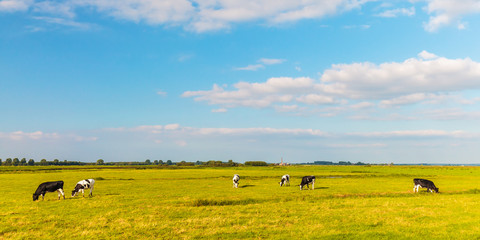 Panoramic image of Dutch cows