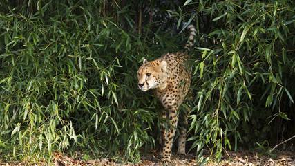 cheetah leaving jungle
