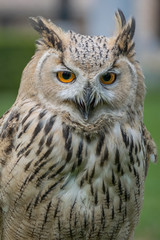 Eagle owl close up, bird of prey