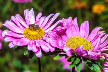 Wesp op een paars gele bloem