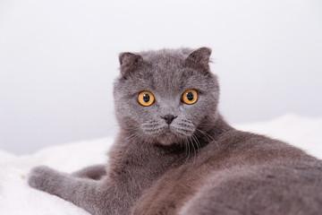 Portrait grey cat breed of Scottish Fold lop-eared.
