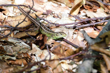 sand lizard in the forest camouflage