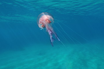 A mauve stinger jellyfish Pelagia noctiluca underwater close to water surface in the Mediterranean sea, Calabira,Tropea, Italy