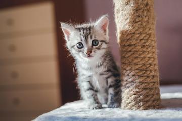 beautiful little gray kitten with blue eyes