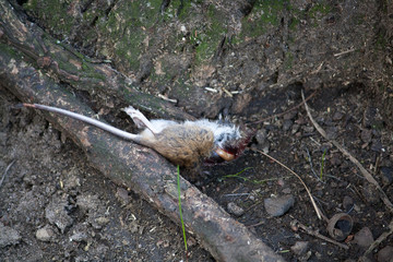 A death mouse laying on the ground