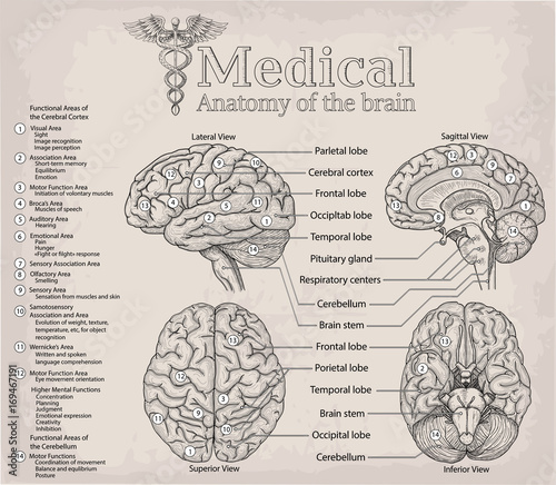 anatomical diagram of human brain  medicine, vector illustration poster   anatomy medical study info graphics banner for education