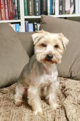 Yorkshire terrier sitting on the sofa