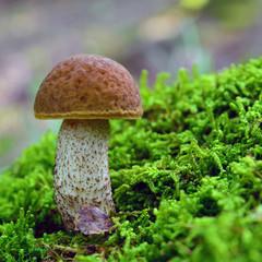 Hemileccinum depilatum mushroom