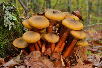 armillaria mushroom cluster