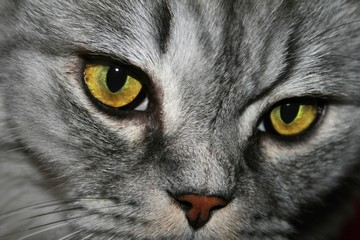 Closeup of tabby face cat  with snout with  yellow eyes and nose.