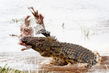 Nile Crocodile With Kill in Mara River