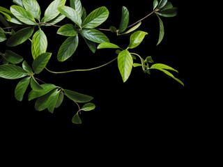 Wall Mural - green creeper leaves isolated on black background