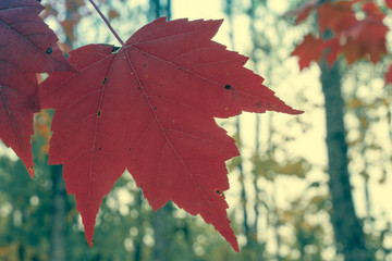 Red Maple Leaf Closeup