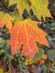 Multicolored Sugar Maple Leaf