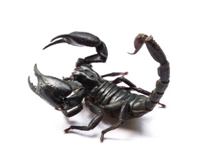Scorpion on white background, Poisonous animals