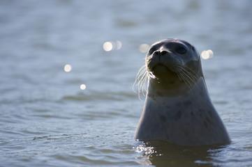 Harbor Seal (Phoca vitulina), aka Common Seal or alternately spelled Harbour Seal, California