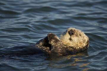 Sea otter (Enhydra lutris), Monterrey Bay, California