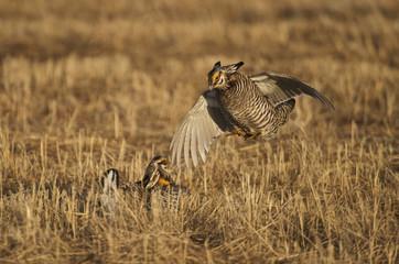 Greater Prairie Chicken (Tympanuchus cupido pinnatus), Bluestem prairie reserve, Minnesota, USA
