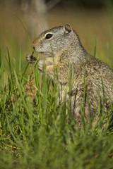 Uinita Ground Squirrel (Spermophilus armatus)
