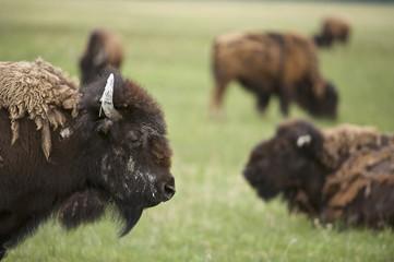 Bison (Bison bison), herd