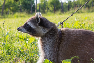 A tame Raccoon with leading reins.