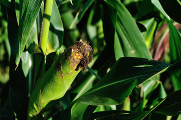 maize crop in growth at farm