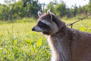 Closeup of a leashed Raccoon.